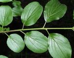 Getapel 'Rhamnus Cathartica' 60-100cm