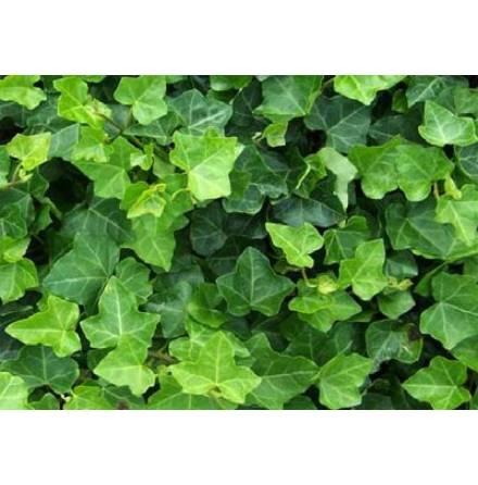Murgröna 'Hibernica' 100-125 cm