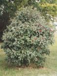 Parkolvon 'Lantana' 60-80cm