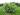 Skogsolvon 100-125cm