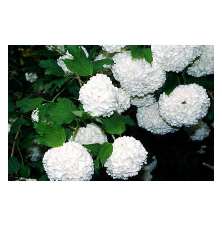 Snöbollsbuske 'Roseum' 60-80cm