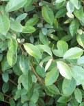 Silverbuske 'Elaeagnus' 60-80cm