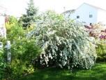 Bukettspirea 'Vanhouttei'  60-80cm