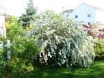 Bukettspirea 'Vanhouttei'  80-100cm