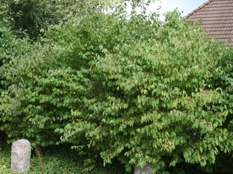 Skogstry 100-125 cm