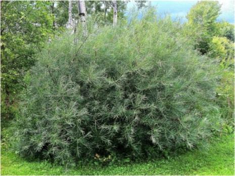 Rosmarinvide 'Angustifolia' 40-60cm