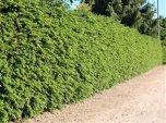 Berberis (Surtorn) 80-100cm