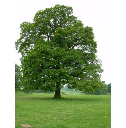Skogsek 175-200cm