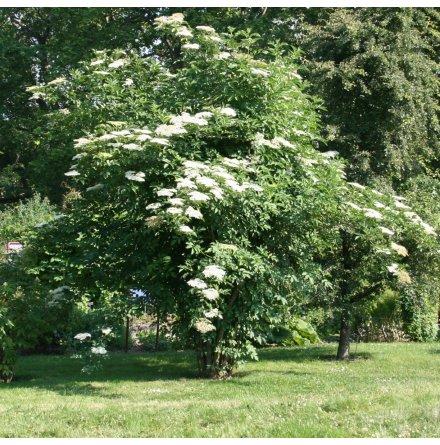 Fläderbuske 'Nigra' 80-100cm