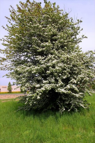 Trubbhagtorn  60-100 cm