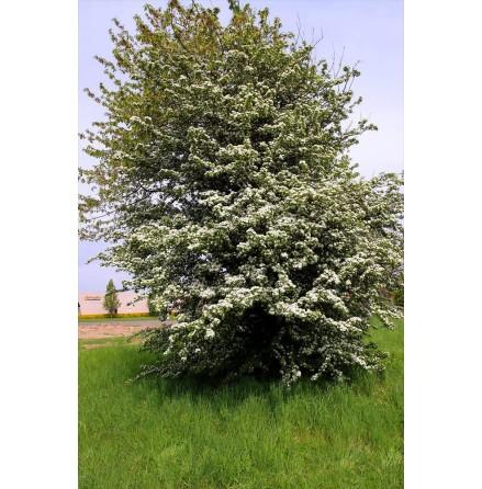 Trubbhagtorn 100-125 cm