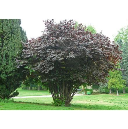Blodhassel 'Purpurea' 60-80cm