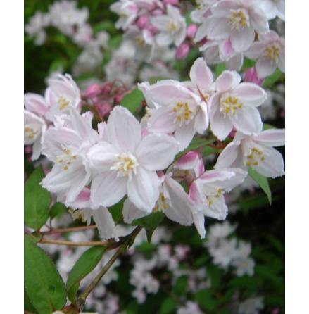 Rosendeutzia 60-80 cm
