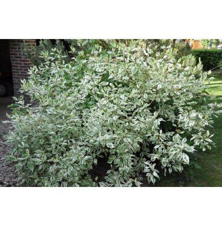 Rysk Kornell 'Elegantissima' 60-80 cm