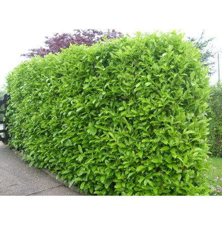 Lagerhägg 'Rotundifolia'  80-100cm