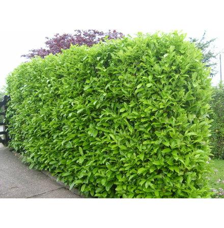 Lagerhägg 'Rotundifolia' 100-125cm