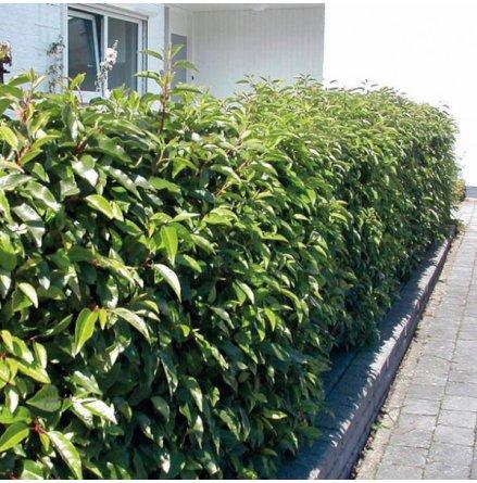 Portugisisk Lagerhägg 'Angustifolia' 125-150cm