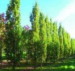 Skogsek  80-120cm