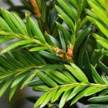 Taxus Baccata | Idegran |  80-100cm